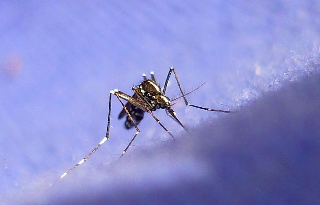 Лихорадка денге. Коротко о симптомах, лечении и профилактике